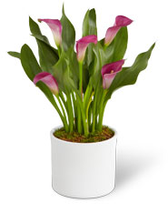 With Stunningly Graceful Flowers And Glossy Foliage This Native Of South Africa Is Truly A Star When Your Ftd Calla Lily Plant Arrives Place It In Bright