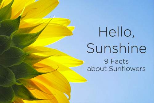 Hello Sunshine 9 facts about Sunflowers