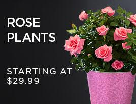 Plantshop Rose Plants