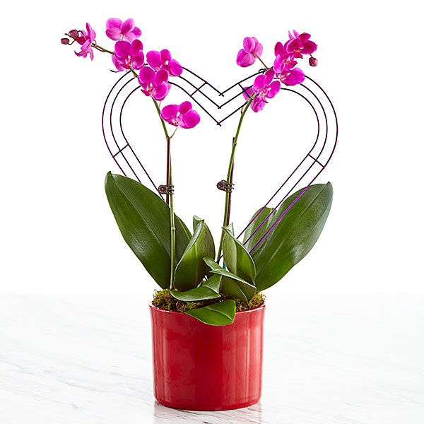 It Takes Two Valentines Day Orchid