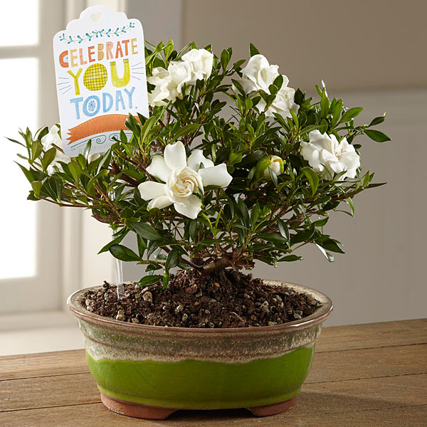 Bonsai Plants Zen And Bamboo Trees Delivered Ftd